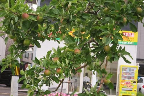 リンゴ並木20160719 (2)_R