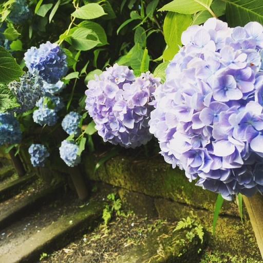 紫陽花 明月院 鎌倉 明月院ブルー