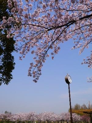 2016桜4