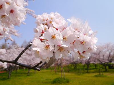 2016桜12