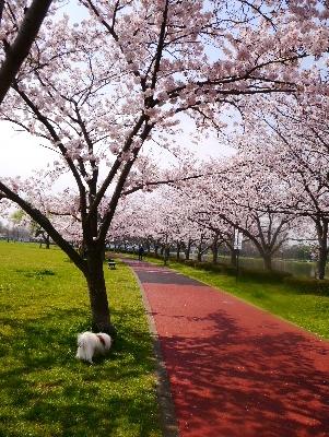 2016桜13