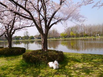 2016桜15