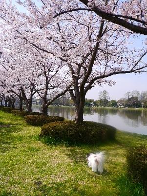 2016桜16
