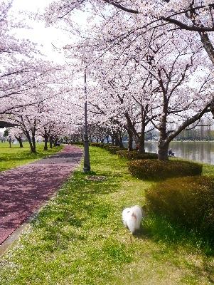 2016桜17