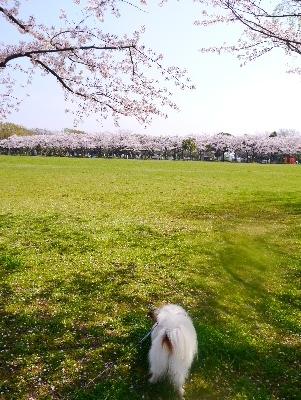 2016桜18