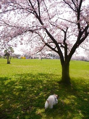 2016桜19