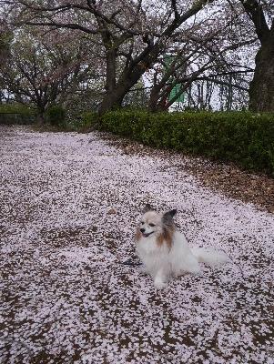2016桜26