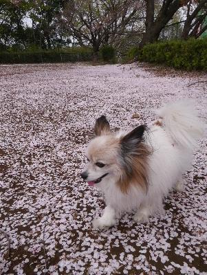 2016桜27
