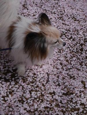 2016桜32