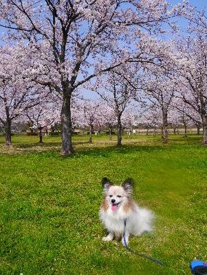 2016桜9