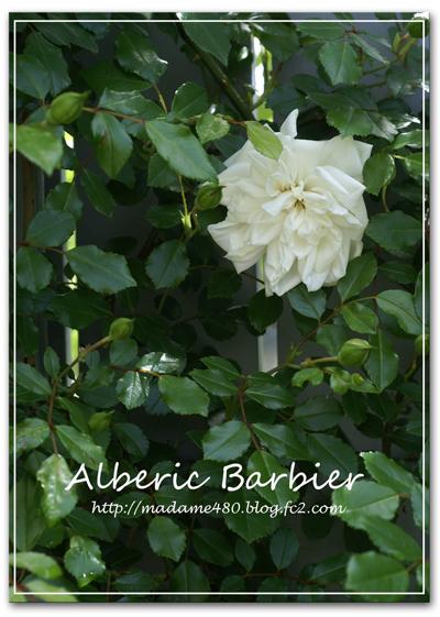 アルべリックバルビエweb用2016初開花