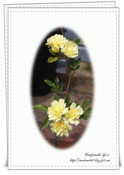 黄モッコウバラweb用2016