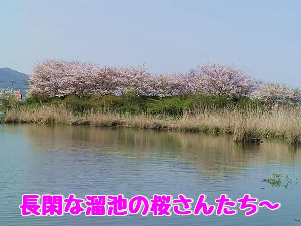 のどかな溜池の桜さんたち