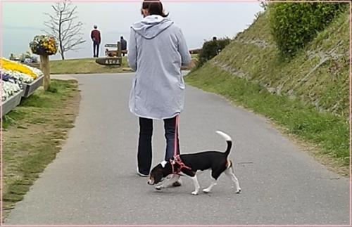 犬ビーグル