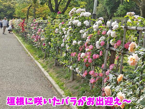 垣根に咲いた薔薇がお出迎え