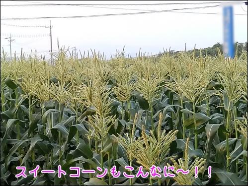スイートコーン畑