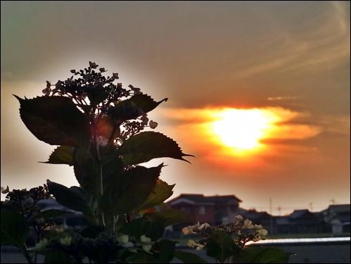 紫陽花と夕陽