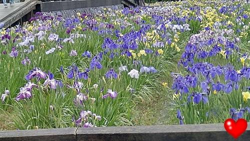 菖蒲の花4