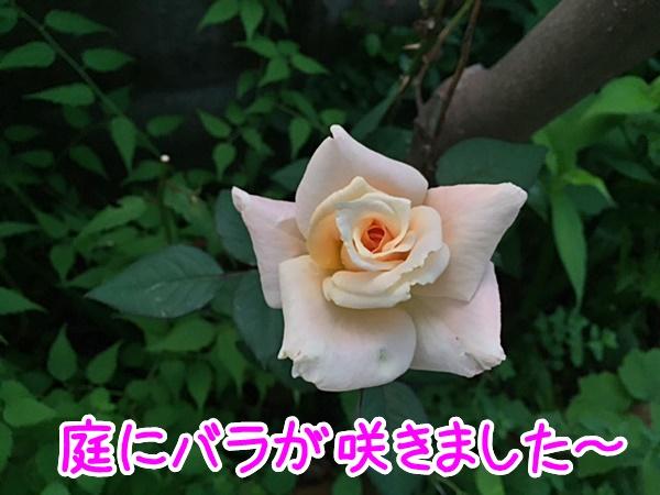 庭にバラが