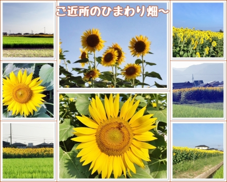 ご近所のひまわり畑