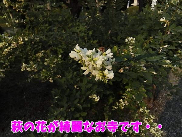 萩の花が綺麗なお寺