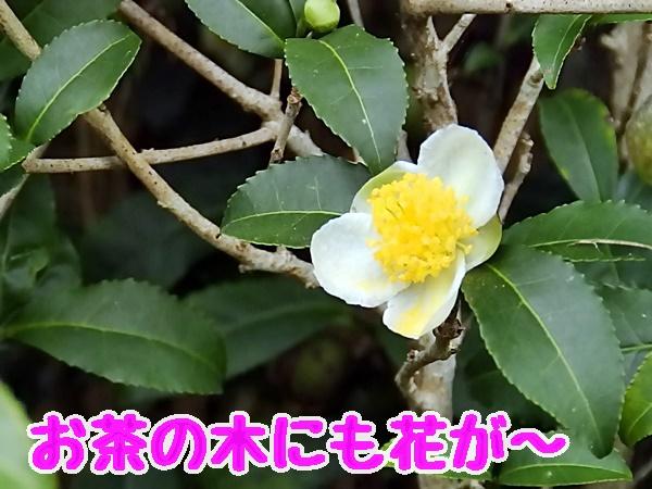 お茶の木にも花が