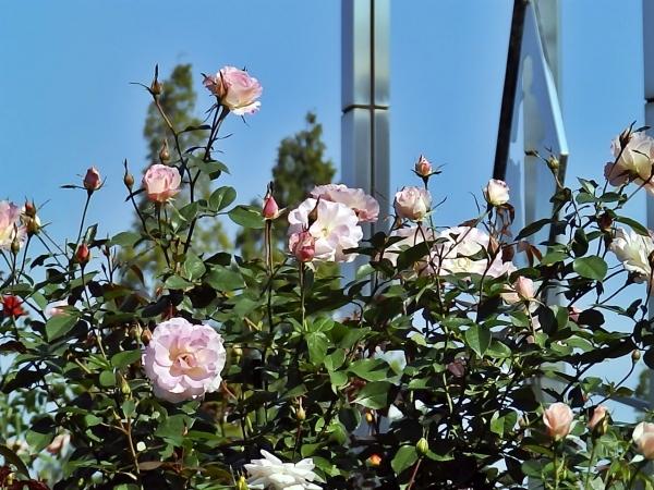 時計塔と薔薇