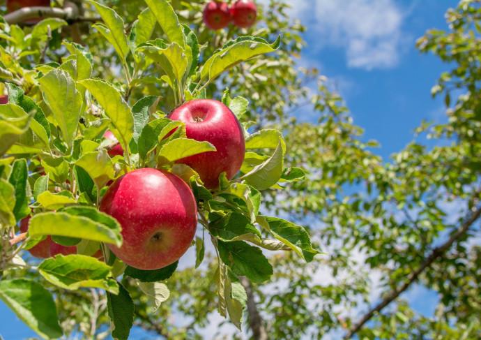 青空りんご