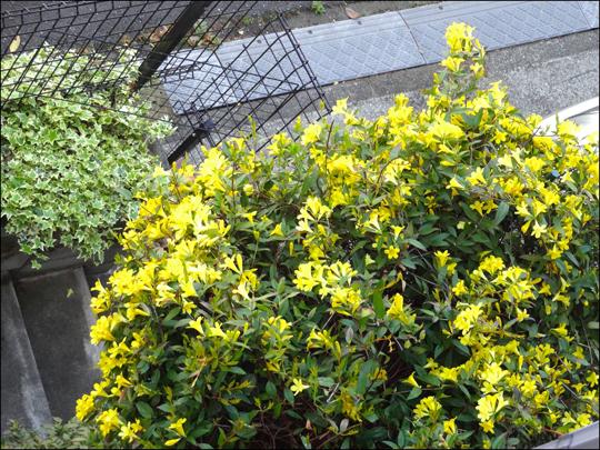 黄色のジャスミン