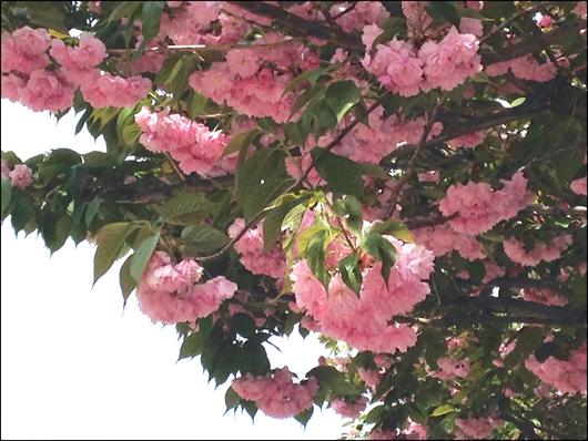 八重桜 ①