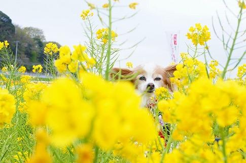 菜の花迷路 16.4.14: