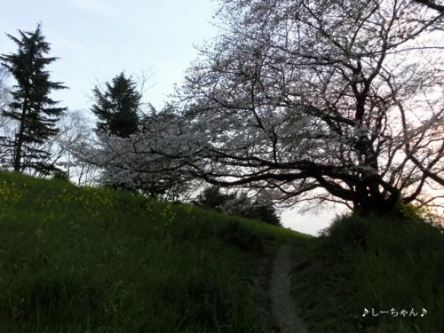 荒川土手の桜・2016_07