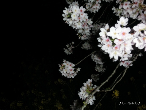 荒川土手の桜・2016_10