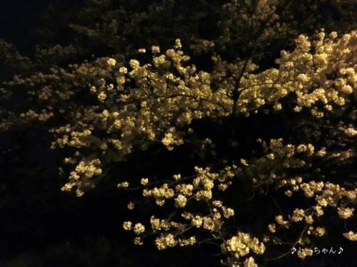 荒川土手の桜・2016_12