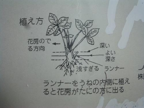 イチゴ定植
