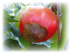 トマト尻腐れ