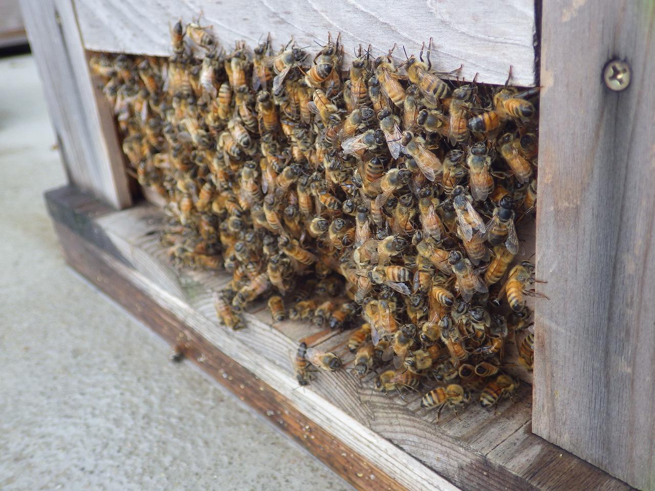 待機中のミツバチ②