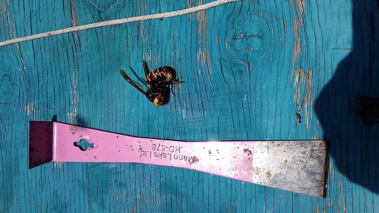 オオスズメバチとツール