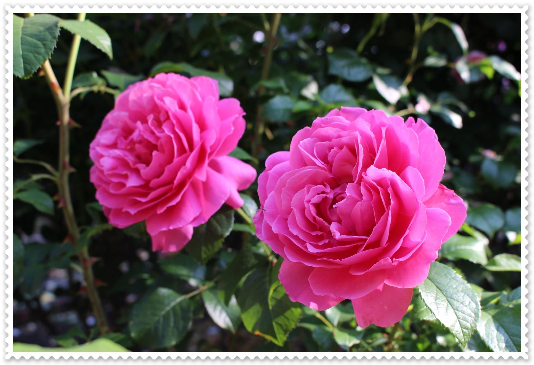 持ち の 良い バラ 花