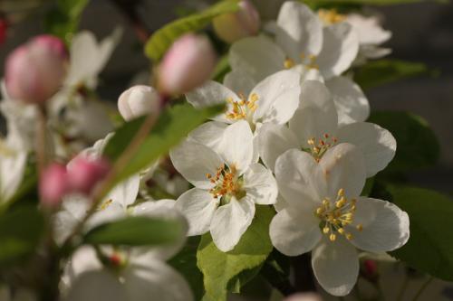 リンゴの花 7