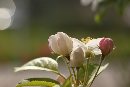 リンゴの花 6