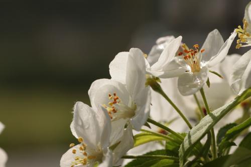 リンゴの花 5