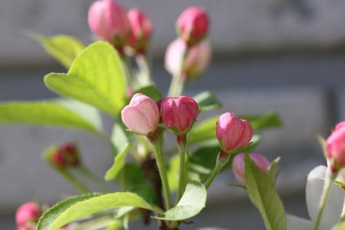 リンゴの花 4