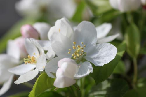 リンゴの花 3