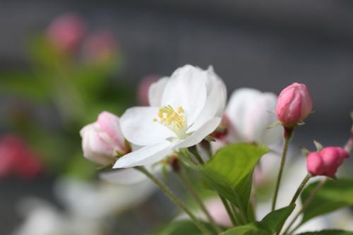 リンゴの花 2