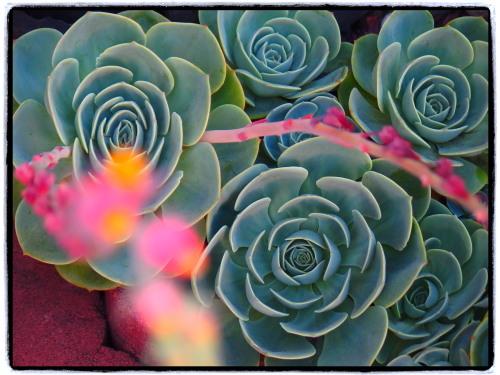 サボテンにこんなきれいな花が。