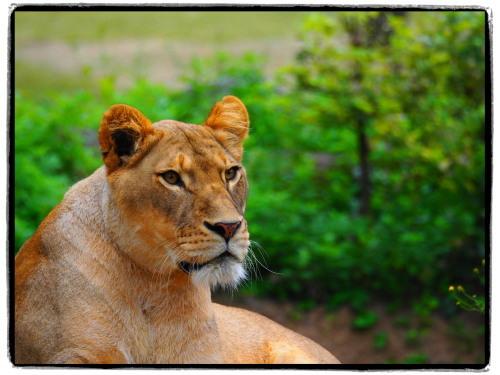 天王寺動物園の雌ライオン