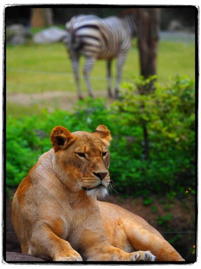 雌ライオンとシマウマ