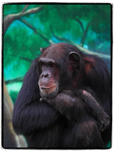 天王寺動物園チンパンジー