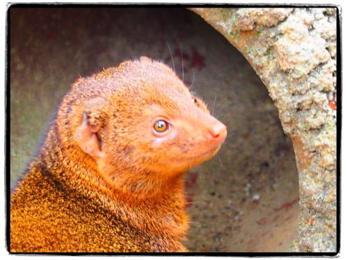 天王寺動物園マングース
